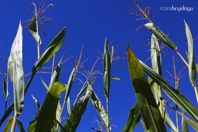 Corn maze2
